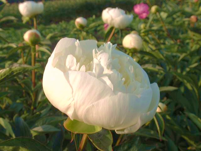 Duchesse de nemours filled lactiflora with cream white globular flowers the petals have a yellow feet thie peony has a strong sweet smell and is a well cut flower mightylinksfo